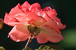 Rose in Butchart Gardens, Victoria, British Columbia, Canada.