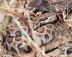 Northern Pacific rattlesnake, Crotalus viridis oreganus, in defensive pose. Mendocino County, California