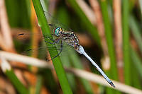 Julia Skimmer Dragonfly male (Orthetrum julia), South Africa