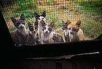Hungry cats wait by the back screen door to be fed their milk in the morning at the homestead of William McKinley Crews in Moccasin Swamp.