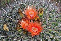 105700003 fishhook barrel cactus ferrocactus wislizenii in flower along a hiking trail in cienega creek nature preserve pima county arizona