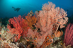 Gorgonian sea fans on a reef in Raja Ampat, West Papua, Indonesia. Diver in background