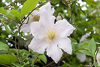 Clematis 'Entei', white flowered climbing perennial vine with yellow stamens