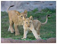 2009005_Lions_Virginia_Zoo