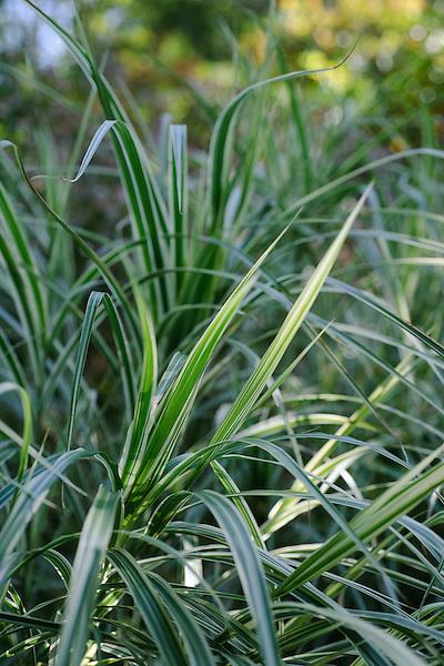 Miscanthus sinensis Variegatus