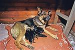German Shepherd & Puppies