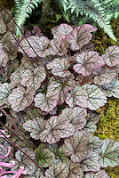 Heuchera Silver Light perennial foliage plant with prominent veins, fern