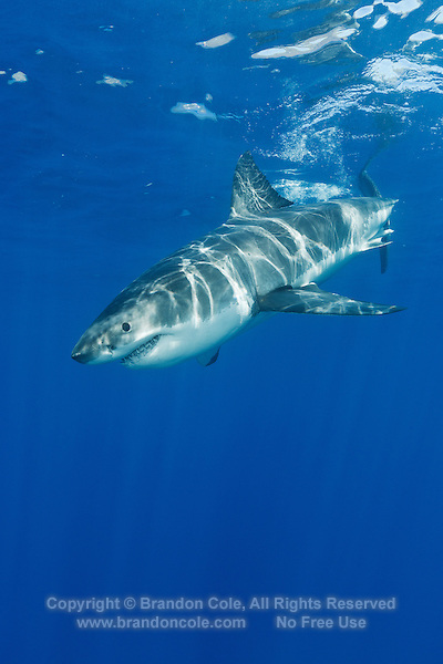 stock photo of Carcharodon carcharias available for purchase ...