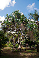 Hala or pandanus trees, also known as screwpine, were used by native Hawaiians to make hats, purses, table or floor mats (lauhala); they are still made by many today. The fruit clusters look like pineapples, and fruit sections or keys were used as paintbrushes, in lei, or as food.