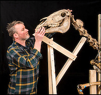 BNPS.co.uk (01202 558833)<br /> Pic: PhilYeomans/BNPS<br /> <br /> A more alert tilt to the head - Conservator Derek Bell at work on the famous skeleton.<br /> <br /> Napoleons famous horse given some much needed 'Joie de vivre' by a National Army Museum conservation - The new poised hind legs and cocked fore leg and head breathe life into the 200 year old skeleton.<br /> <br /> Emperor Napoleon's famous warhorse Marengo, immortalised in David's famous painting, was captured on the battlefield of Waterloo after Napoleon had fled.<br /> <br /> The diminutive Arabian stallion was brought back to Britain, and after its death the skeleton was carefully preserved and put on display in a rather dull and lifeless pose.<br /> <br /> British experts have spent two years picking apart, reconditioning and reassembling the aged and delicate bones of Marengo ahead of his installation at the new National Army Museum in Chelsea, west London.