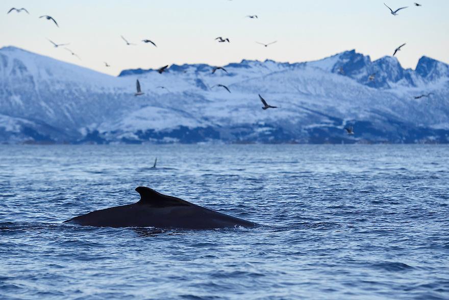 Humpback whale, Megaptera novaeangliae, and herring gulls, Larus argentatus, Senja, Troms county, Norway, Scandinavia