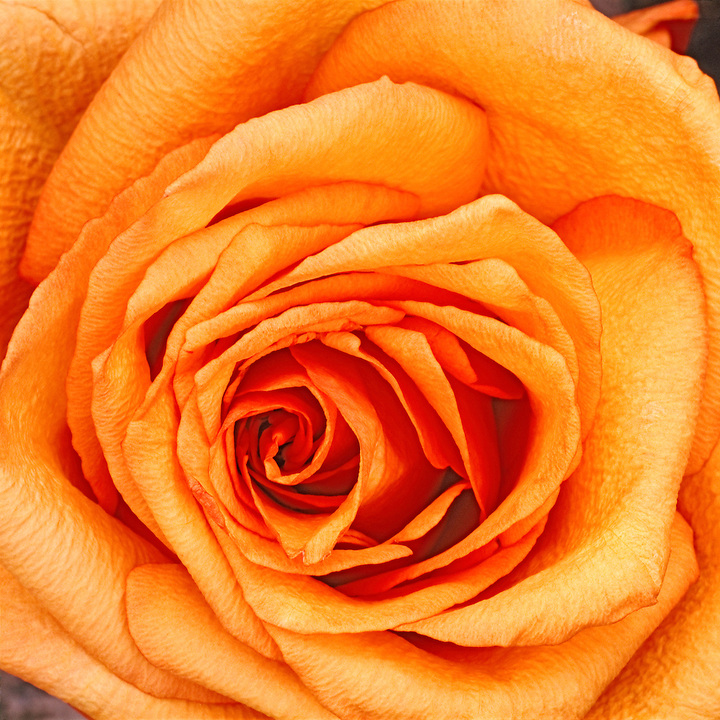 Orange Rose, close-up