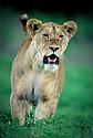 African Lioness (Panthera leo) beginning to stalk wildebeest. Nogorongoro Conservation Area, Tanzania.