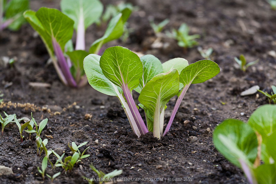 Young Cabbage Plants