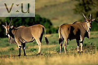 A pair of Giant Elands ,Taurotragus derbianus, Masai Mara Game Reserve, Kenya