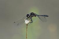362690019 a wild male black meadowhawk sympetrum danae perches on a plant stem in mono county california