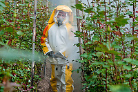 A worker walks among rose bushes spraying the pesticide dilution at a flower farm in Cayambe, Ecuador, 29 June 2010. South American countries (Colombia and Ecuador) are world leaders in cut flower industry. The advantage of the moderate sunny climate, very cheap labor force in combination with the absence of social laws and environmental regulations have created perfect conditions for the cut flower production. Flower growing is very fragile and necessarily depends on irrigation and chemical maintenance, provided by highly toxic pesticides. About 50.000 workers in Ecuador, working mainly for living minimum wage, keep the floral industry going and saturate the market generated by consumerist culture the US, Canada and Europe.