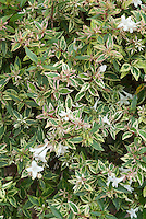 Glossy Abelia Confetti in variegated foliage and white flowers