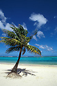 Coconut Palm tree on Ypao Beach at Flores Beach Park; Tumon Bay beach and resort area, Guam, Micronesia.