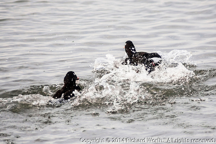 Two male White-winged scoters appear to be playing a wet game of tag in San Francisco Bay at the San Leandro Marina.