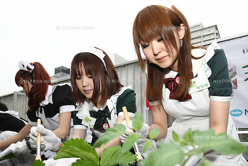 Apr 20, 2010 - Tokyo, Japan - Maids working as staff at cafes and members of the NPO Licolita, set the strawberry plants during the 'Akihabara Kitchen Garden Kick-off' event on a rooftop in Tokyo, Japan, on April 20, 2010. For the second consecutive year, the project aims to bring down the temperature in the district area.
