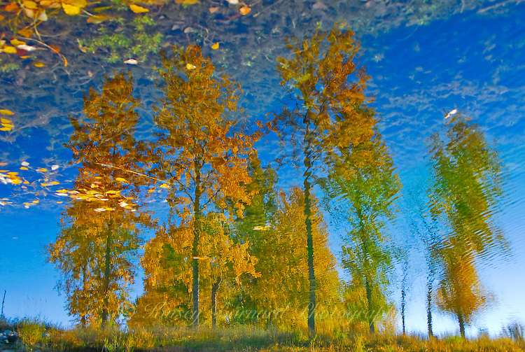 &quot;AUTUMN LEAVES&quot;<br /> <br /> A grove of aspen clothed in autumn colors reflecting on a pond. Although most of the images is reflection, the illusion is given away by golden leaves floating on the water. Image taken near the Tobacco River in Montana <br /> <br /> ORIGINAL 24 X 36 GALLERY WRAPPED CANVAS SIGNED BY THE ARTIST $2,500. CONTACT FOR AVAILABILITY.