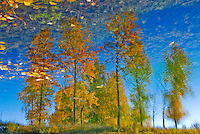 A grove of aspen clothed in autumn colors reflecting on a pond. Although most of the images is reflection, the illusion is given away by golden leaves floating on the water.