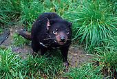 Tasmanian Devil (Sarcophilus harrisii), Australia....