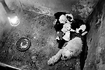 Puppy Farming Wales 1989. An Old English Sheepdog and her litter.<br /> <br /> The Davies family run farm at Llwch-yr-hal near Newcastle Emlyn. Many of their dogs in shocking conditions, with out water, and heat in cold, damp and dark breeding pens.