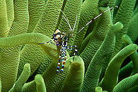Underwater detail of a banded coral cleaning shrimp on a sea anemone in the Caribbean Sea.