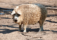 Mangalica pig - A Hungarian rare breed pig that is making a come back because of the health properties of its meat. Hungary