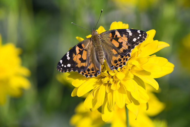 Painted lady on a false sunflower