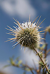 Flowering Thistle Plant, Simien Mountains National Park, Ethiopia, spikey, spikes, blue sky background.Africa....