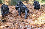 Foto: VidiPhoto<br /> <br /> ARNHEM - De uitbundige bladval in Burgers' Zoo in Arnhem levert de chimpansee dinsdag flink wat hoofdbrekens. Waar ligt het voedsel? Een zee aan bruine herfstbladeren maakt het leven er voor de mensapen niet eenvoudiger op. Temeer daar de gracht tussen bezoekers en apen eveneens is bedekt met blad. Een natuurlijke snuffeldump betekent daarom hard werken voor chimps. Deze week zijn de dieren voor het laatst buiten. Na komend weekend kan de temperaturen flink naar beneden. Bovendien gaat het vanaf woensdag regenen en ook dan blijven chimpansees liever binnen. Bij temperaturen onder de 10 graden Celsius mogen ze niet meer naar buiten om te voorkomen dat ze ziek worden. Dat de dieren nu nog buiten kunnen zijn is al uitzonderlijk.
