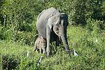 Female Asian Elephant, Elephas maximus, with young calf, Kaziranga National Park, Assam, India, World Heritage & IUCN Category II Site, baby.India....