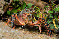 414490016 a wild pocambarus species of crayfish sits in aquatic plants in a small pond on a ranch in south texas
