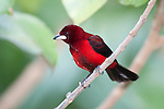 Crimson backed Tanager, Ramphocelus dimidiatus, Panama, Central America, Gamboa Reserve, Parque Nacional Soberania, male perched in tree,