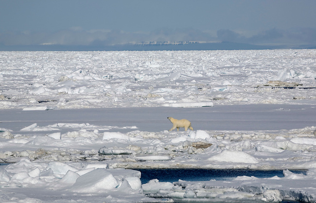 Polar bear hunting on the close pack ice south of Spitsbergen.