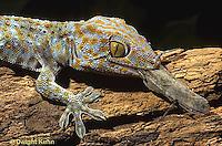 GK09-002a  Tokay Gecko - eating insect prey -  Gekko gecko.