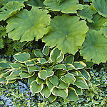 Astilboides tabularis and hosta