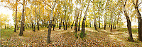 Spectacular panoramic landscape photograph of autumn deep woodland with bright stunning sunlight. Big and tall trees can be seen standing strong from the ground. Capturing the beauty of the land of China, online fine print and commercial download.