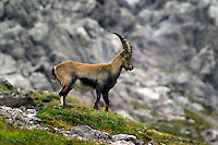 Adlerweg, Tirol, Austria, August 2005. A male Steinbock on the trail to Wurttemberger haus. The Adlerweg (eagles trail) is the new long distance hiking trail in Austria. The Adlerweg connects existing paths throughout Tirol, in the shape of an eagle, Tirol's provincial symbol. Photo by Frits Meyst/Adventure4ever.com