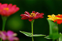 A close-up of red, yellow and other vivid zinnia blossoms grown during the summer in a garden in Volcano, Big Island.