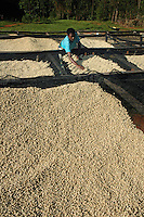 Domitille Gasengayire spreads coffee beans on a drying table at a coffee washing site near Butare/Huye Rwanda. With the help of the USAID funded project, SPREAD, the coffee business has been gaining ground in Rwanda where the quality and market price earned by farmers across the country has been increasing annually. Last year, the country exported, according to Tim Schilling director of SPREAD, gourmet coffee exports increased from 2,000 tons in 2006 to 3,000 in 2007, with the overall quality doubling each year. Rwanda exported 25,000 tons of coffee in total last year. In the US this coffee appears in Whole Foods Stores and Starbuck Coffee Houses among others. SPREAD not only trains farmers to increase coffee bean quality but tries to more directly connect farmers to roasters to produce fair trade coffee. (Rick D'Elia)