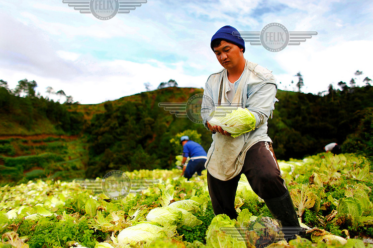 A farmer harvesting cabbages in Pactil.