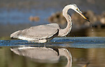 A great blue heron hangs out on a mud bank at low tide and fishes in the morning light along a marsh edge in the May River.