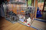 Labrador Puppies In Cage