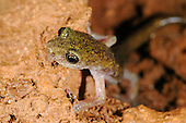 Supramonte Cave Salamander (Speleomantes supramontis) in a cave, endemic to Sardinia, Italy