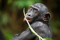 Bonobo juvenile with a plant in its mouth (Pan paniscus), Lola Ya Bonobo Sanctuary,