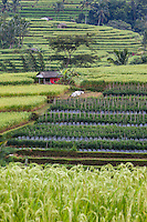Jatiluwih, Bali, Indonesia.  Terraced Rice Fields.  Rows of Peppers in the Middle.